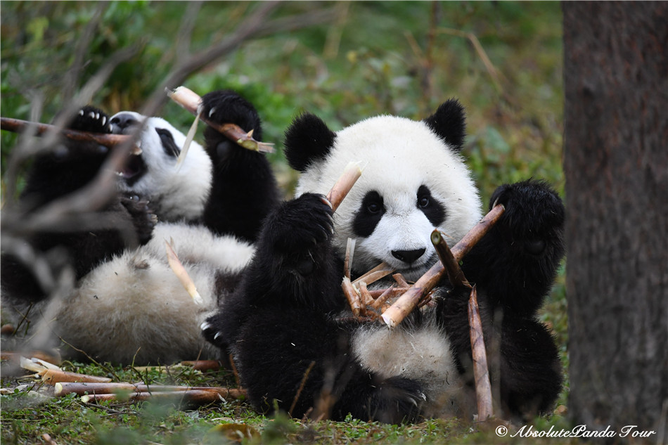 How Does a Baby Panda Eat Bamboo?
