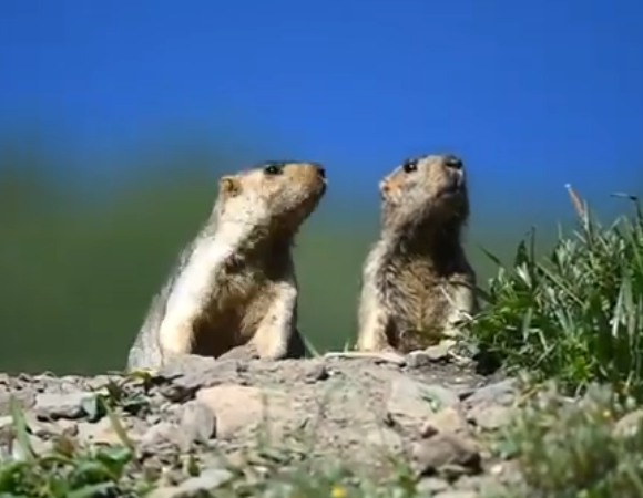 Cute Marmots Gave Us a Big Smile