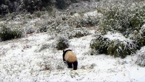 Panda Tracking in Panda Habitat